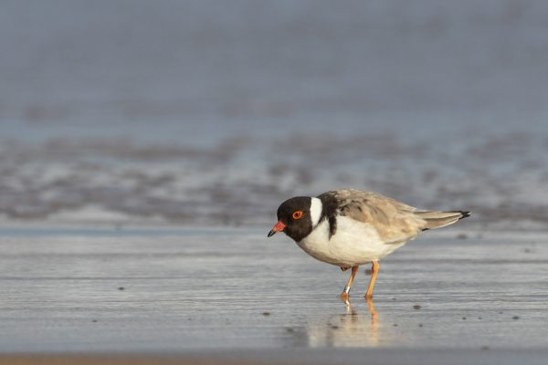 CAROLE-HOODED-PLOVERS35
