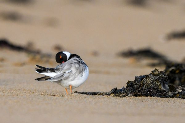 CAROLE-HOODED-PLOVERS36