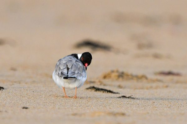 CAROLE-HOODED-PLOVERS38