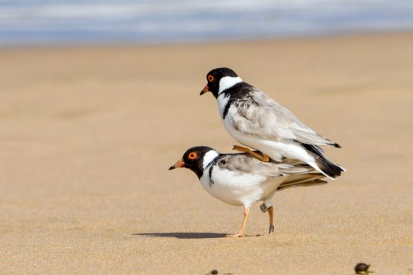 CAROLE-HOODED-PLOVERS39