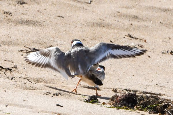 CAROLE-HOODED-PLOVERS4
