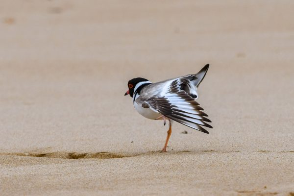 CAROLE-HOODED-PLOVERS40