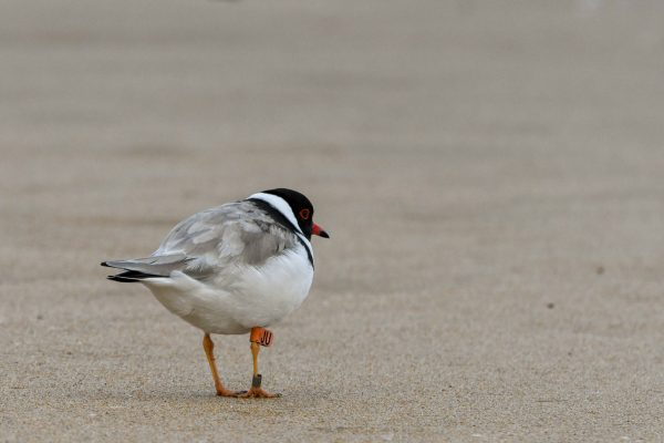 CAROLE-HOODED-PLOVERS41