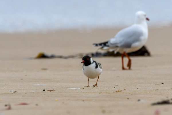 CAROLE-HOODED-PLOVERS43