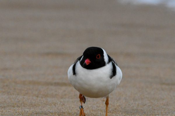 CAROLE-HOODED-PLOVERS45
