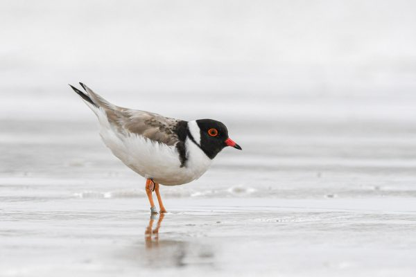 CAROLE-HOODED-PLOVERS46
