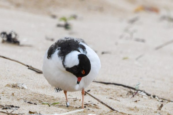 CAROLE-HOODED-PLOVERS48