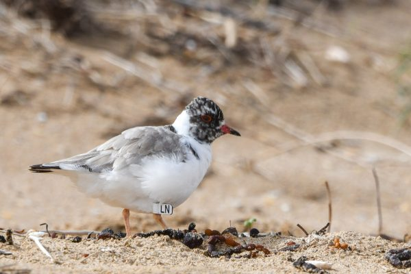 CAROLE-HOODED-PLOVERS49