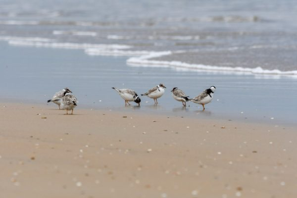 CAROLE-HOODED-PLOVERS5