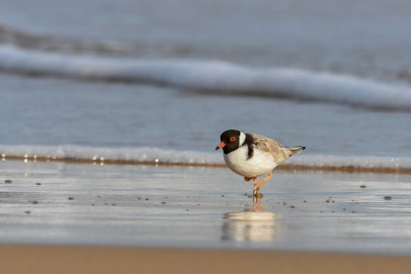 CAROLE-HOODED-PLOVERS50