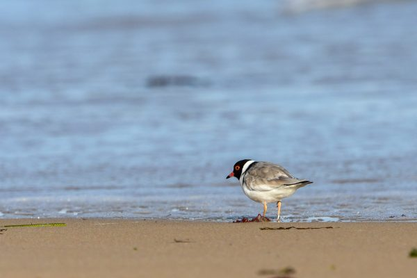 CAROLE-HOODED-PLOVERS51
