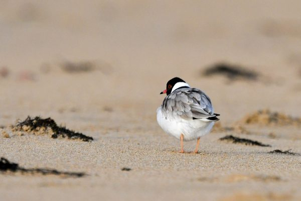 CAROLE-HOODED-PLOVERS54