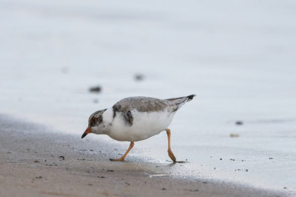 CAROLE-HOODED-PLOVERS55