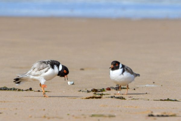 CAROLE-HOODED-PLOVERS56