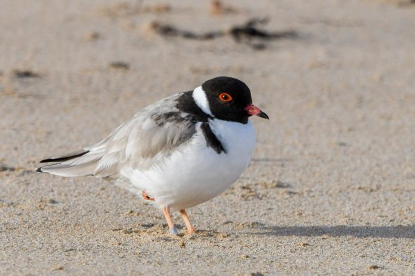 CAROLE-HOODED-PLOVERS57