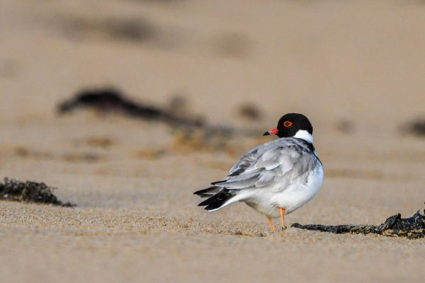 CAROLE-HOODED-PLOVERS58