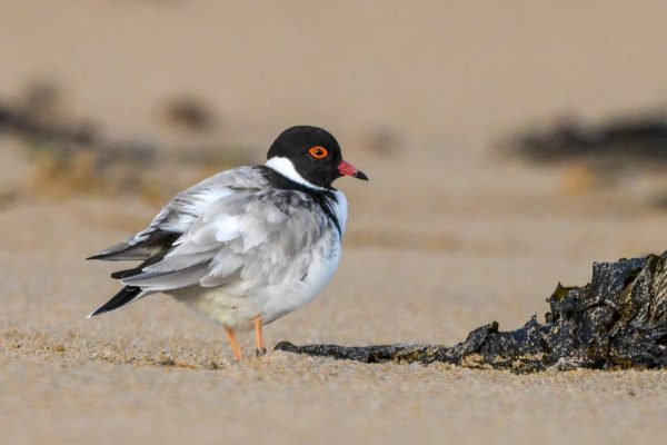 CAROLE-HOODED-PLOVERS59