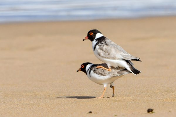 CAROLE-HOODED-PLOVERS6