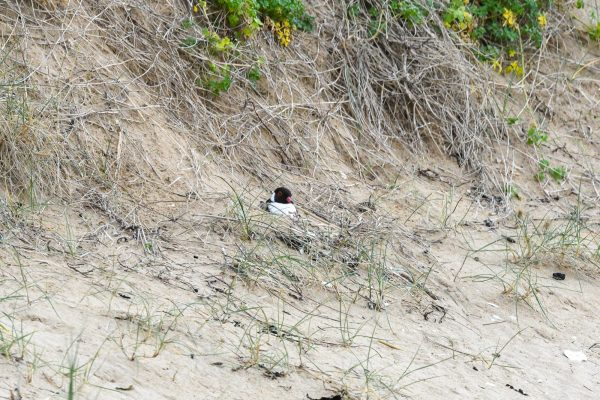CAROLE-HOODED-PLOVERS63
