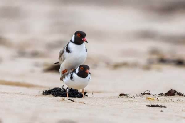CAROLE-HOODED-PLOVERS64