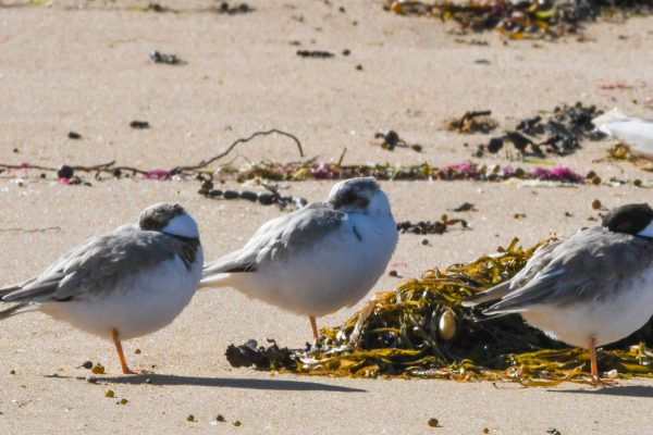 CAROLE-HOODED-PLOVERS66
