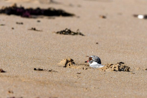 CAROLE-HOODED-PLOVERS69