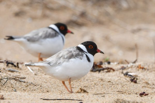 CAROLE-HOODED-PLOVERS7