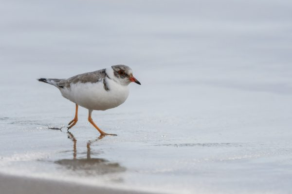 CAROLE-HOODED-PLOVERS70