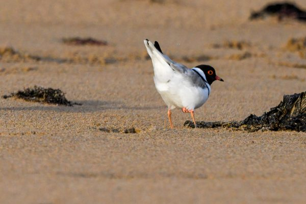 CAROLE-HOODED-PLOVERS73