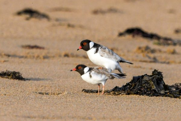 CAROLE-HOODED-PLOVERS75