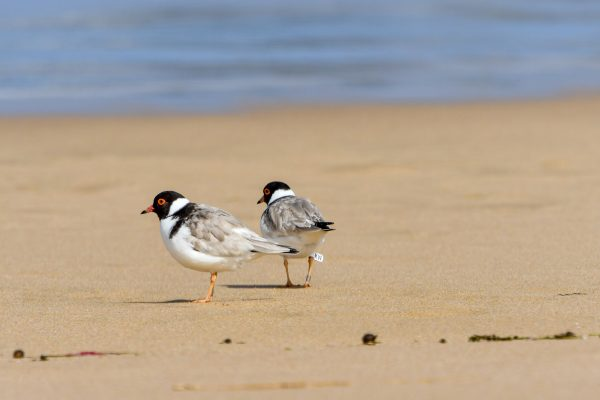 CAROLE-HOODED-PLOVERS77