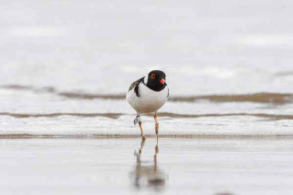CAROLE-HOODED-PLOVERS78