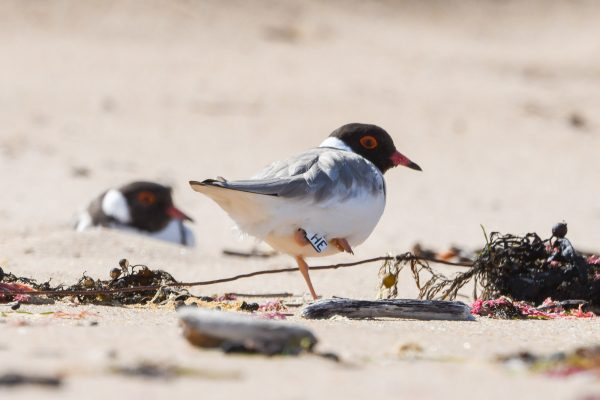 CAROLE-HOODED-PLOVERS79