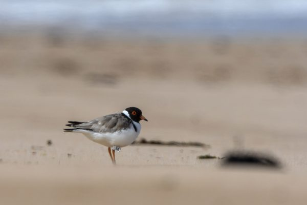 CAROLE-HOODED-PLOVERS80