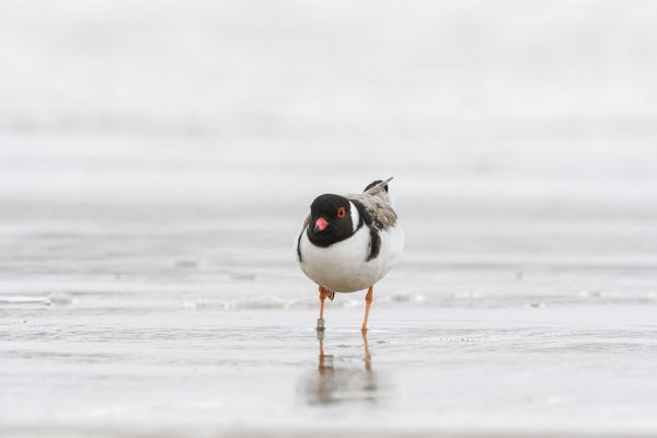 CAROLE-HOODED-PLOVERS82