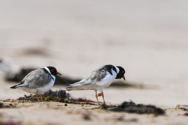 CAROLE-HOODED-PLOVERS84