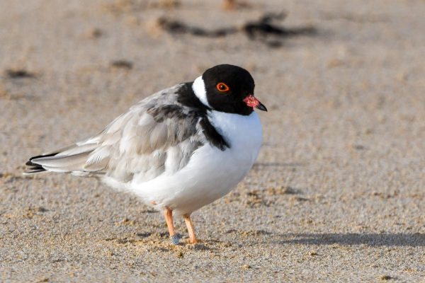 CAROLE-HOODED-PLOVERS85