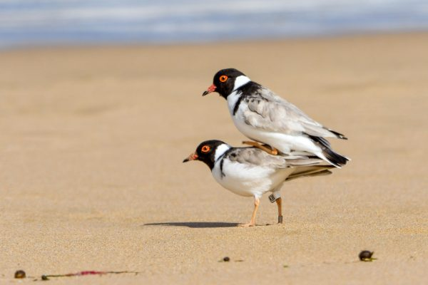 CAROLE-HOODED-PLOVERS86