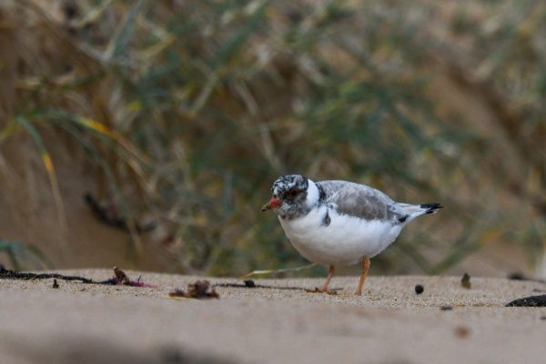 CAROLE-HOODED-PLOVERS88