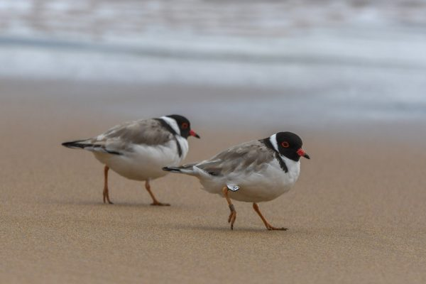 CAROLE-HOODED-PLOVERS89