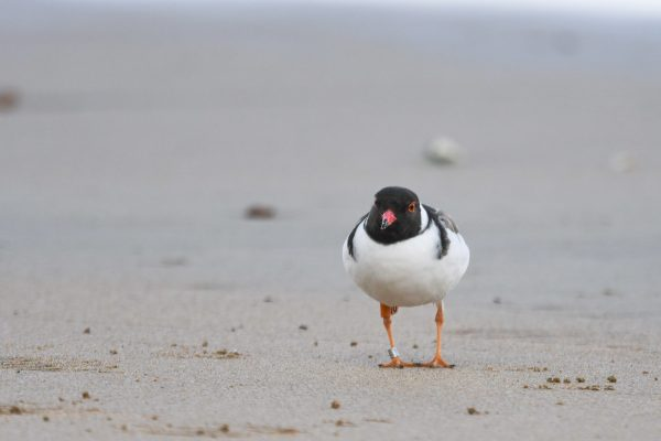CAROLE-HOODED-PLOVERS9