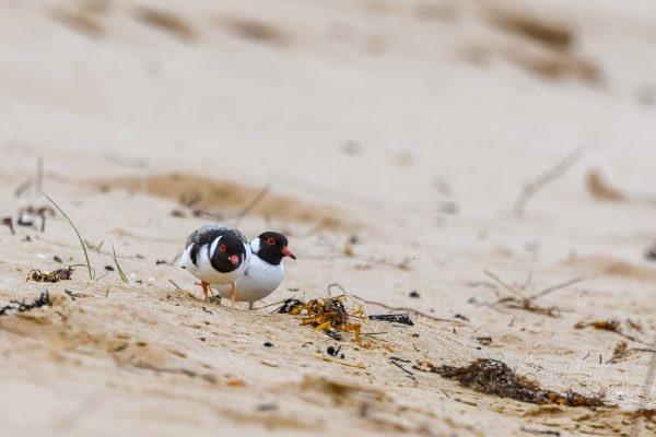 CAROLE-HOODED-PLOVERS90