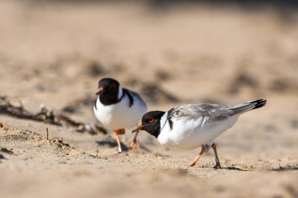 CAROLE-HOODED-PLOVERS92