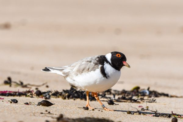 CAROLE-HOODED-PLOVERS94