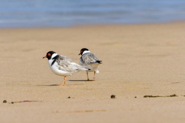 CAROLE-HOODED-PLOVERS95