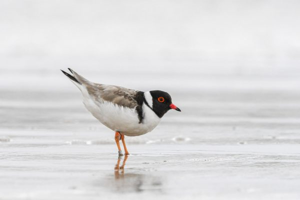 CAROLE-HOODED-PLOVERS97
