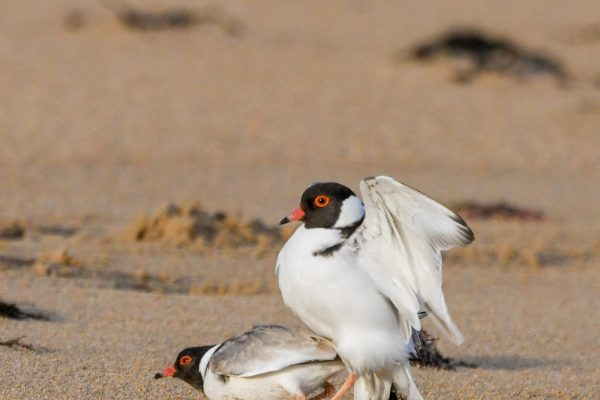 CAROLE-HOODED-PLOVERS98