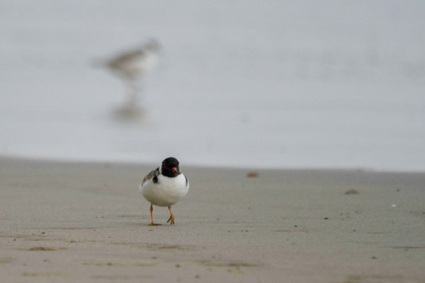 CAROLE-HOODED-PLOVERS99