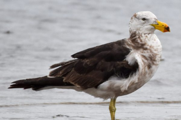 Gulls-and-terns-carole-photos-1
