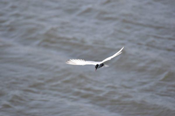 Gulls-and-terns-carole-photos-10